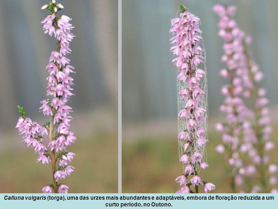 Calluna vulgaris (torga), uma das urzes mais abundantes e adaptáveis, embora de floração reduzida a um curto período, no Outono.