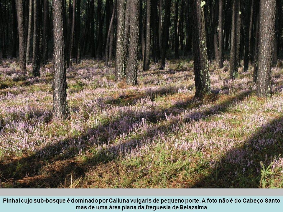 Pinhal cujo sub-bosque é dominado por Calluna vulgaris de pequeno porte.