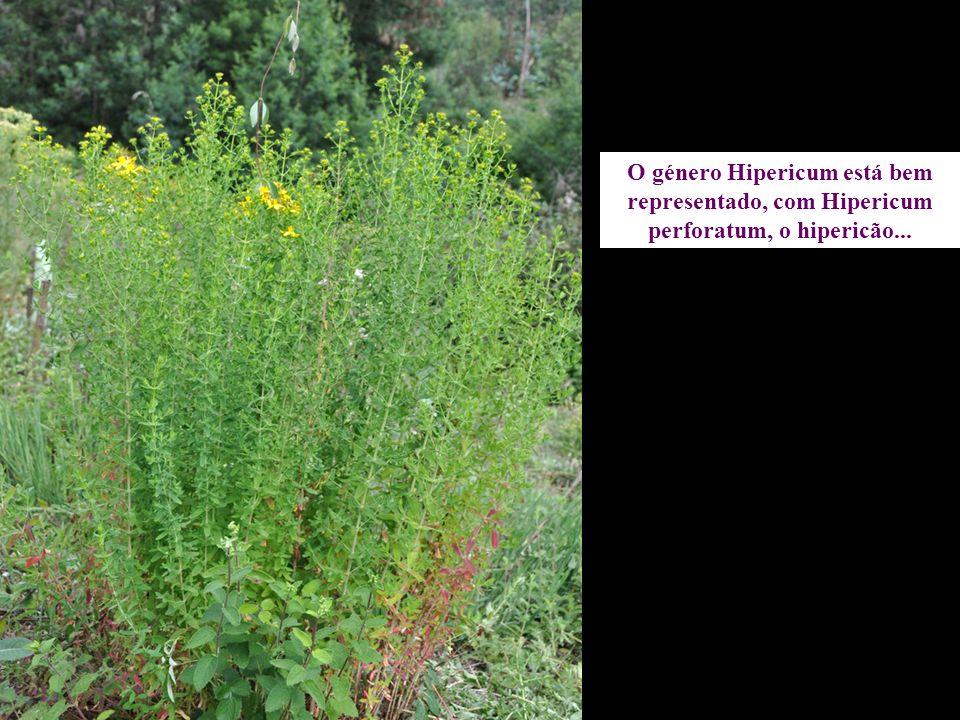 O género Hipericum está bem representado, com Hipericum perforatum, o hipericão...
