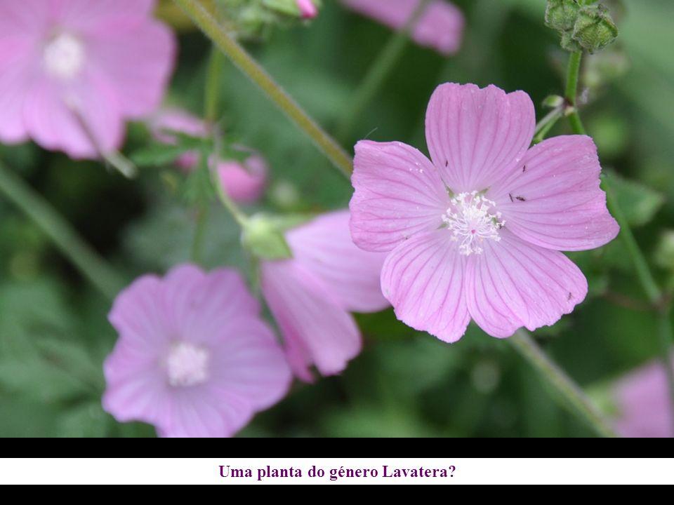 Uma planta do género Lavatera