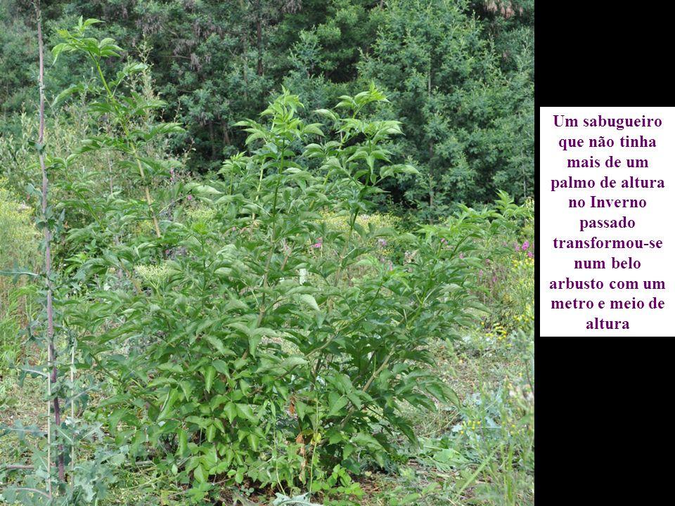 Um sabugueiro que não tinha mais de um palmo de altura no Inverno passado transformou-se num belo arbusto com um metro e meio de altura