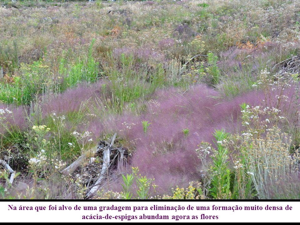 Na área que foi alvo de uma gradagem para eliminação de uma formação muito densa de acácia-de-espigas abundam agora as flores