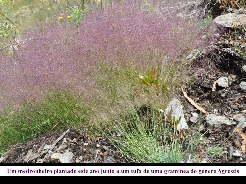 Um medronheiro plantado este ano junto a um tufo de uma gramínea do género Agrostis
