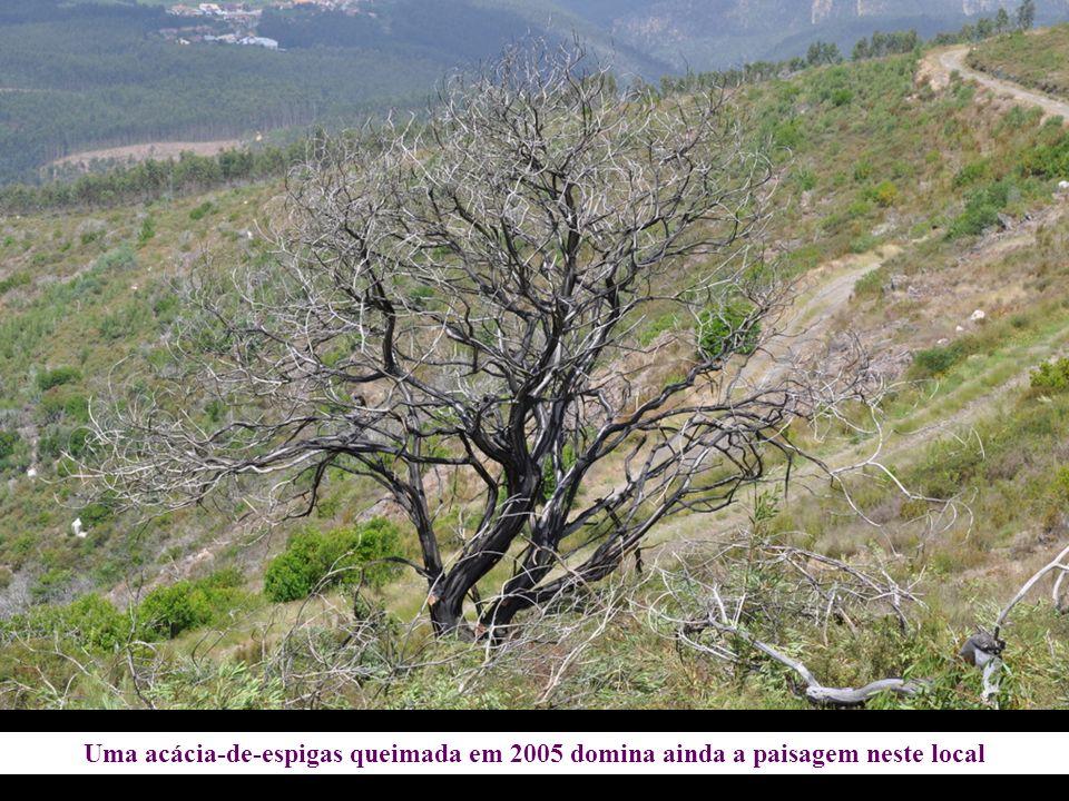 Uma acácia-de-espigas queimada em 2005 domina ainda a paisagem neste local