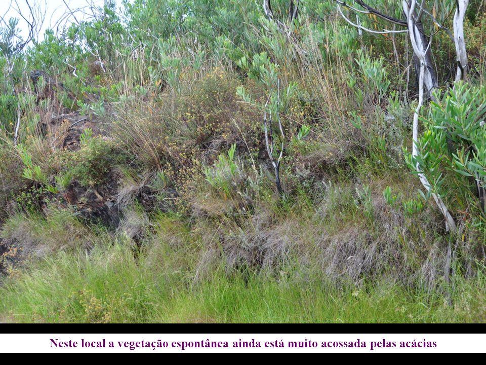 Neste local a vegetação espontânea ainda está muito acossada pelas acácias