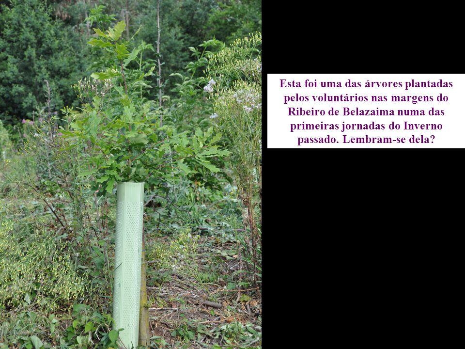 Esta foi uma das árvores plantadas pelos voluntários nas margens do Ribeiro de Belazaima numa das primeiras jornadas do Inverno passado.