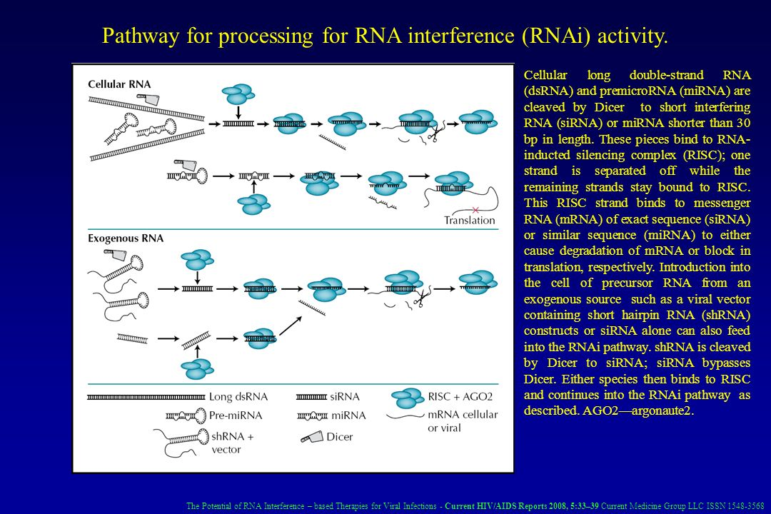 Pathway for processing for RNA interference (RNAi) activity.