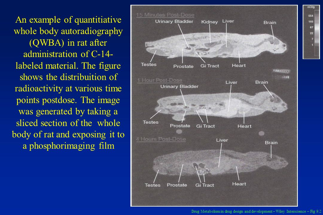 An example of quantitiative whole body autoradiography (QWBA) in rat after administration of C-14-labeled material. The figure shows the distribuition of radioactivity at various time points postdose. The image was generated by taking a sliced section of the whole body of rat and exposing it to a phosphorimaging film