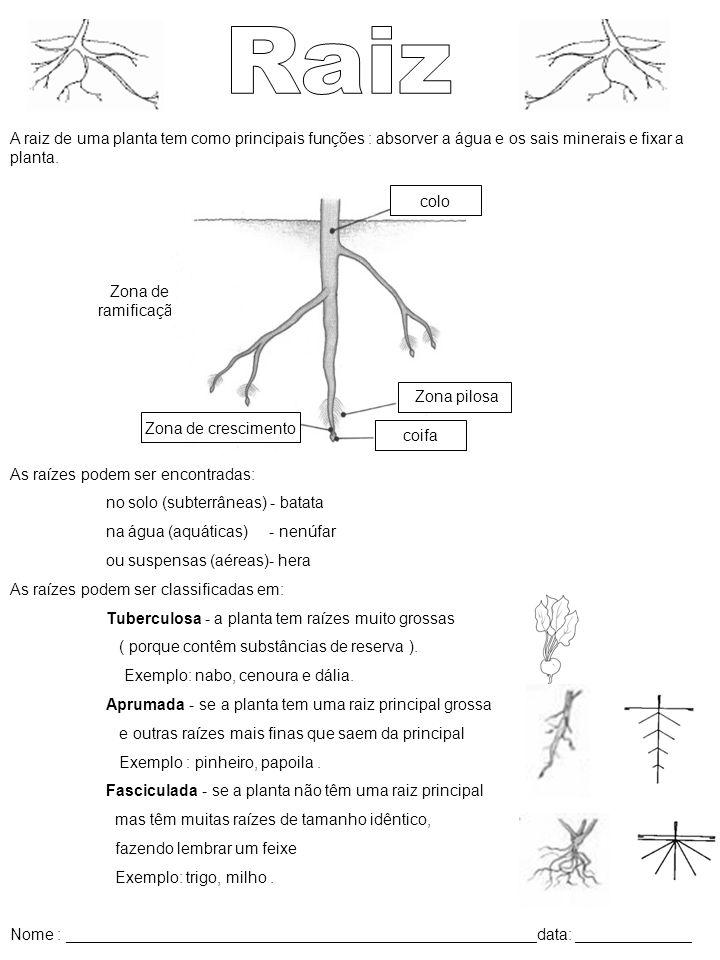 Raiz A raiz de uma planta tem como principais funções : absorver a água e os sais minerais e fixar a planta.