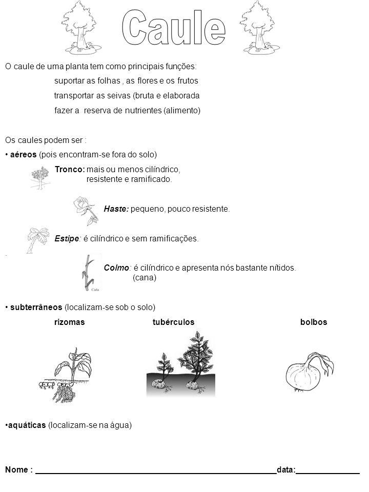 Caule O caule de uma planta tem como principais funções: