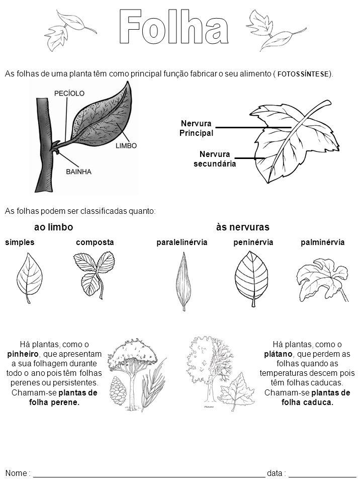 Folha As folhas de uma planta têm como principal função fabricar o seu alimento ( FOTOSSÍNTESE). Nervura secundária.