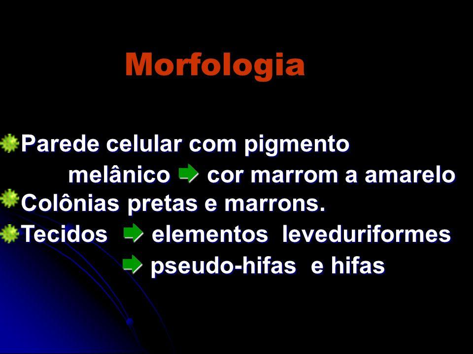 Morfologia Parede celular com pigmento melânico  cor marrom a amarelo