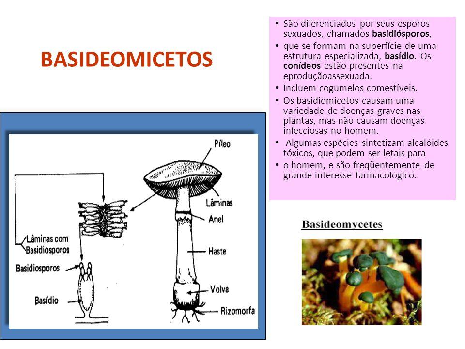 São diferenciados por seus esporos sexuados, chamados basidiósporos,