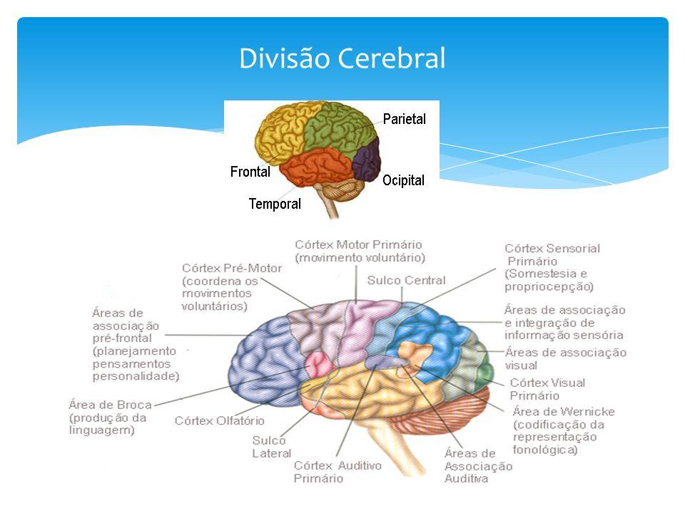 Divisão Cerebral
