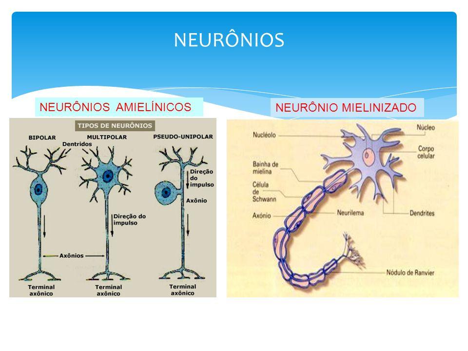 NEURÔNIOS NEURÔNIOS AMIELÍNICOS NEURÔNIO MIELINIZADO