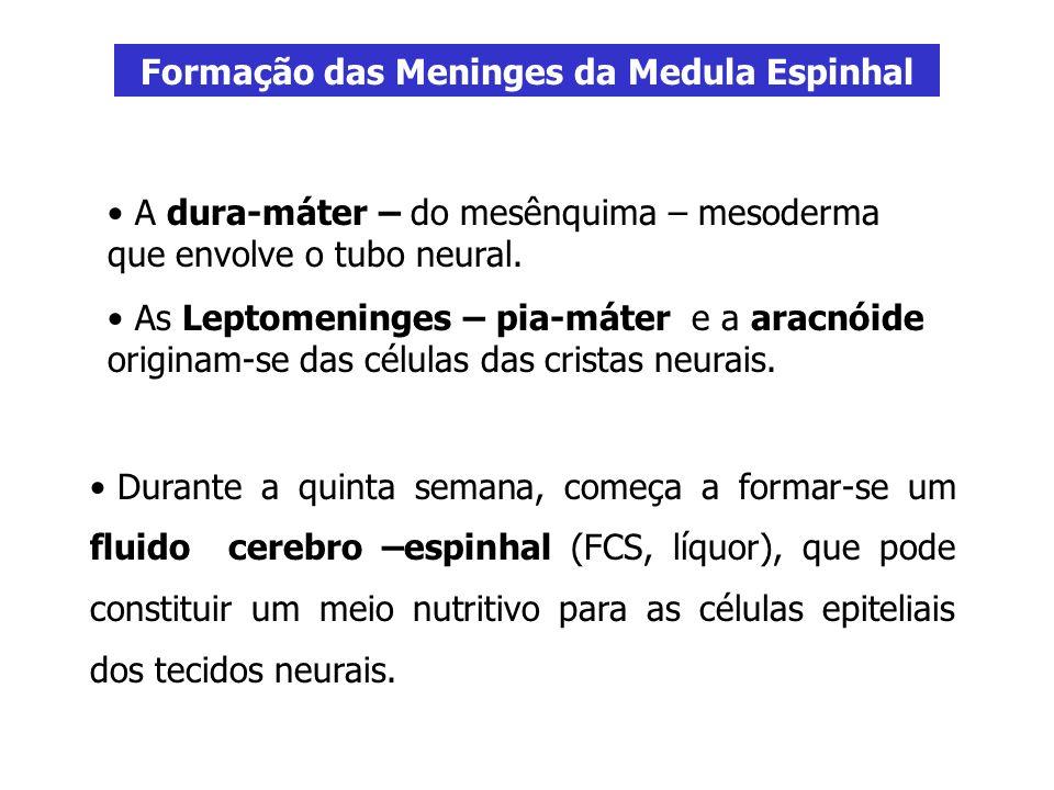 Formação das Meninges da Medula Espinhal