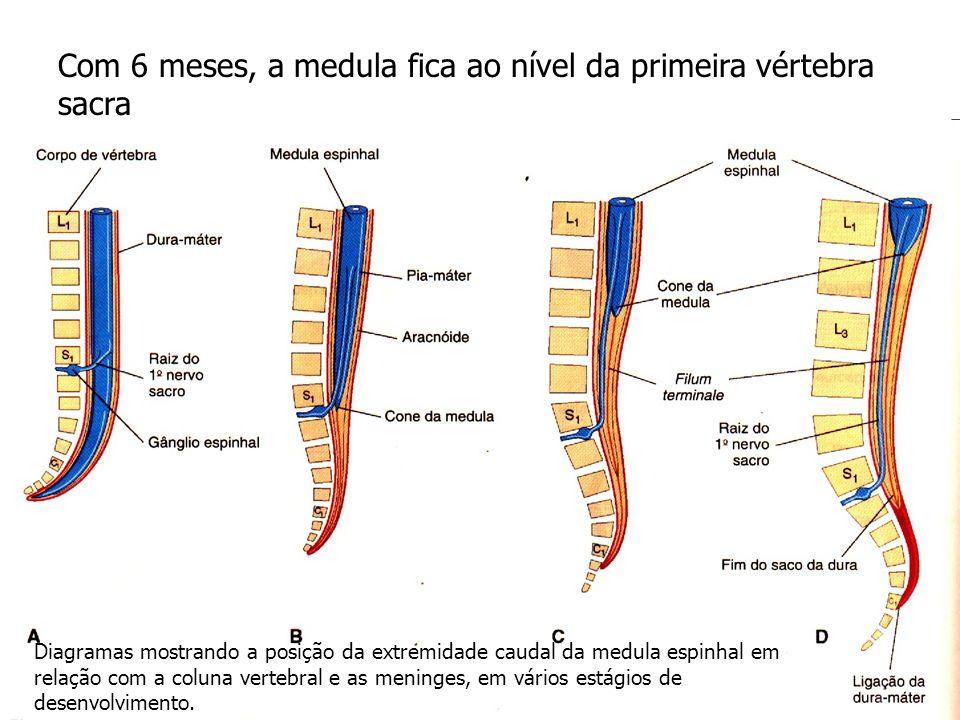 Com 6 meses, a medula fica ao nível da primeira vértebra sacra