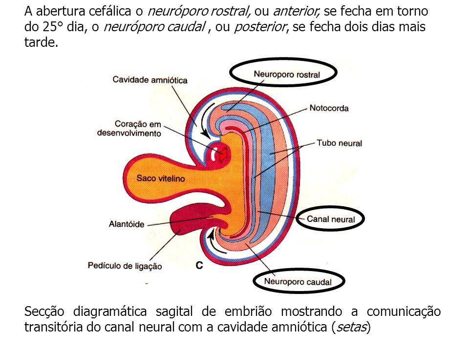 A abertura cefálica o neuróporo rostral, ou anterior, se fecha em torno do 25° dia, o neuróporo caudal , ou posterior, se fecha dois dias mais tarde.