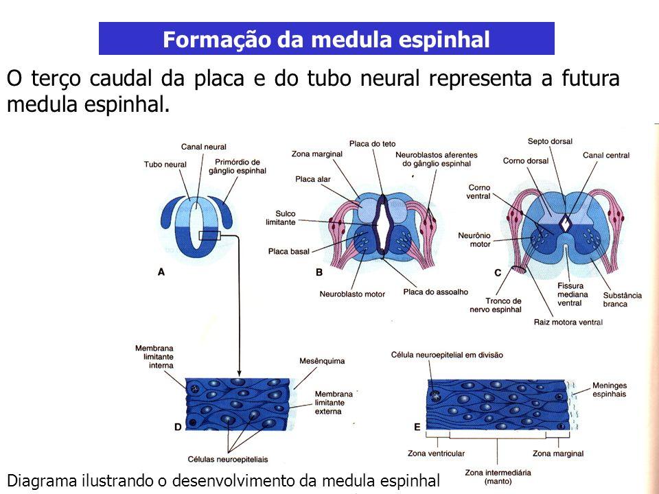 Formação da medula espinhal