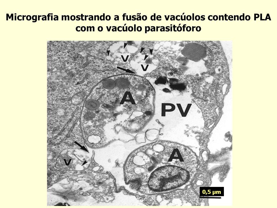 Micrografia mostrando a fusão de vacúolos contendo PLA com o vacúolo parasitóforo