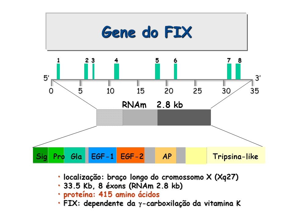 Gene do FIX 0 5 10 15 20 25 30 35. 5' 3' RNAm 2.8 kb.