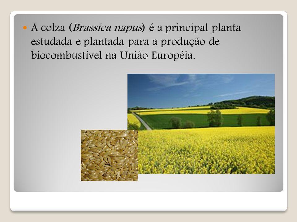 A colza (Brassica napus) é a principal planta estudada e plantada para a produção de biocombustível na União Européia.