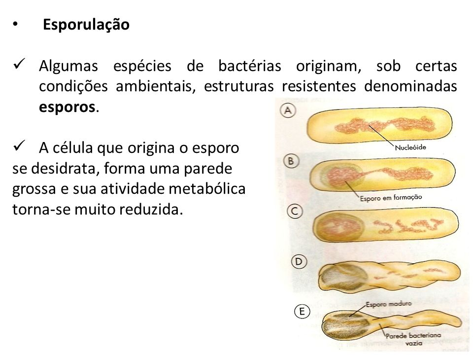 EsporulaçãoAlgumas espécies de bactérias originam, sob certas condições ambientais, estruturas resistentes denominadas esporos.