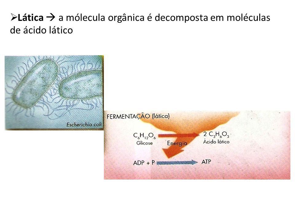Lática  a mólecula orgânica é decomposta em moléculas de ácido lático