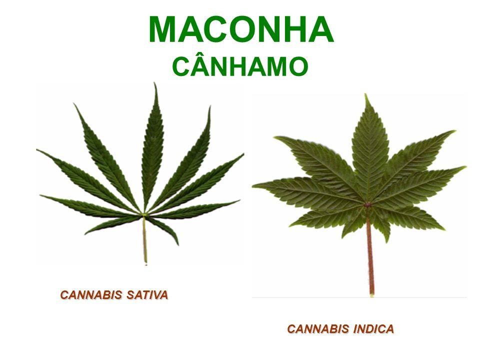 MACONHA CÂNHAMO CANNABIS SATIVA CANNABIS INDICA