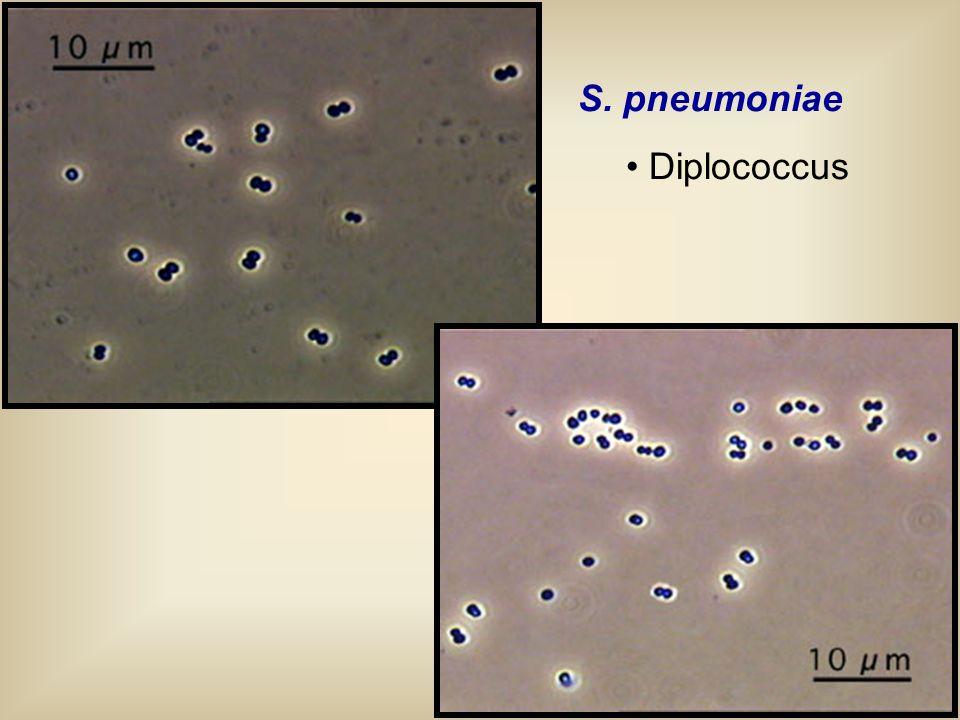 S. pneumoniae Diplococcus