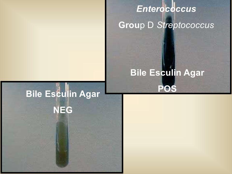 Enterococcus Group D Streptococcus Bile Esculin Agar POS Bile Esculin Agar NEG