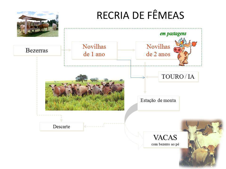 RECRIA DE FÊMEAS VACAS com bezerro ao pé Novilhas de 1 ano Bezerras