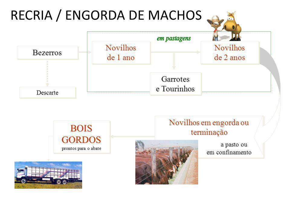 RECRIA / ENGORDA DE MACHOS