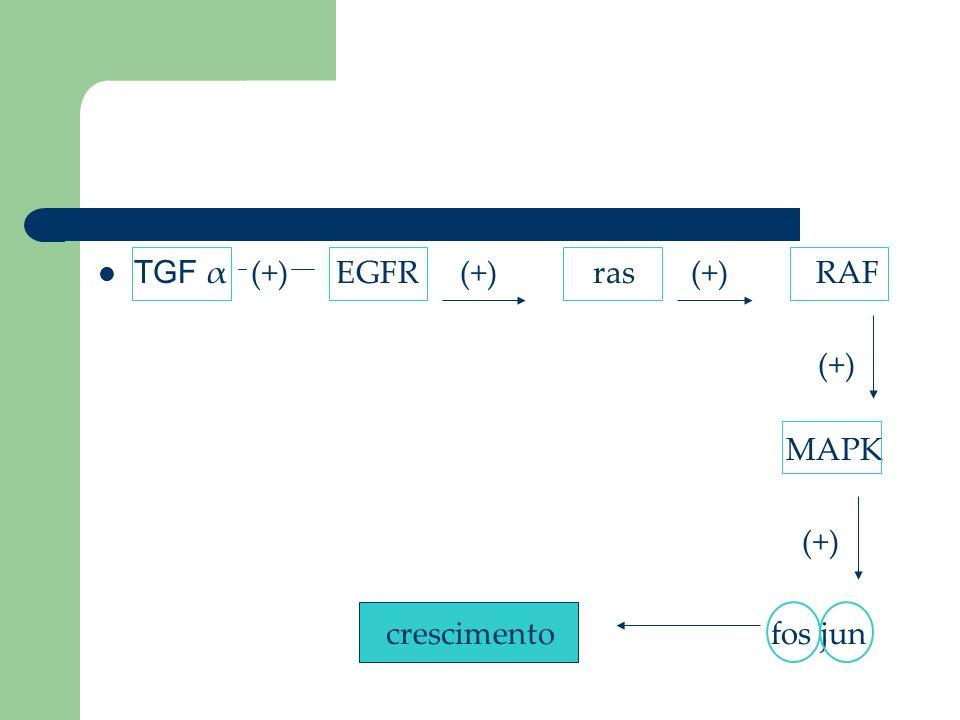 TGF α (+) EGFR (+) ras (+) RAF