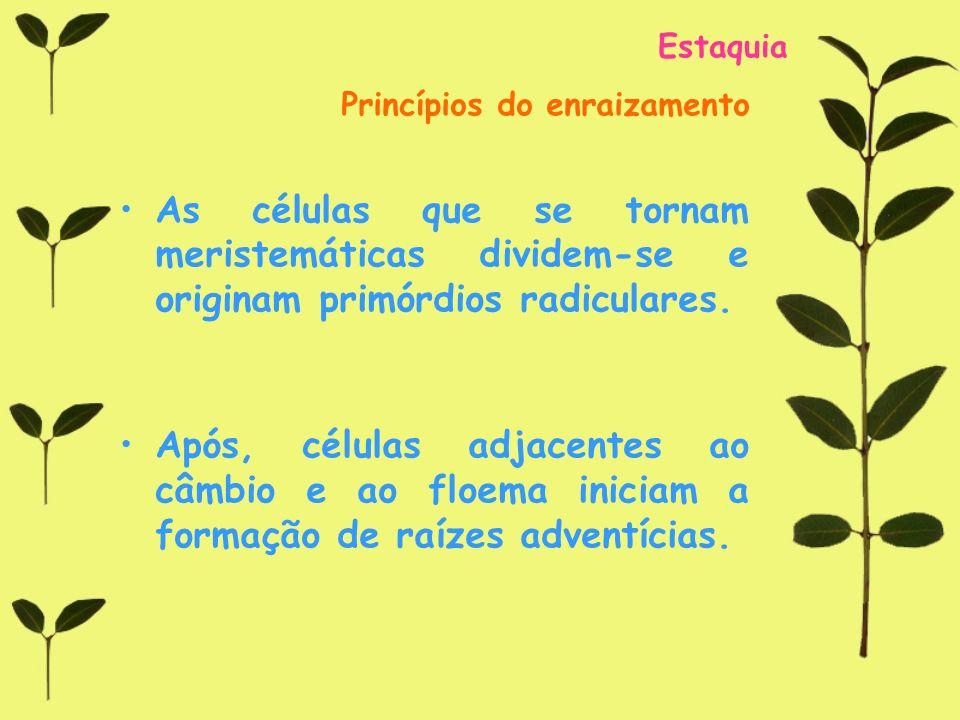 Estaquia Princípios do enraizamento. As células que se tornam meristemáticas dividem-se e originam primórdios radiculares.