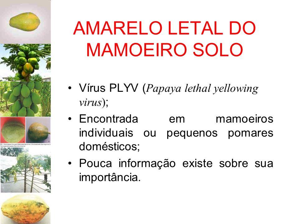 AMARELO LETAL DO MAMOEIRO SOLO