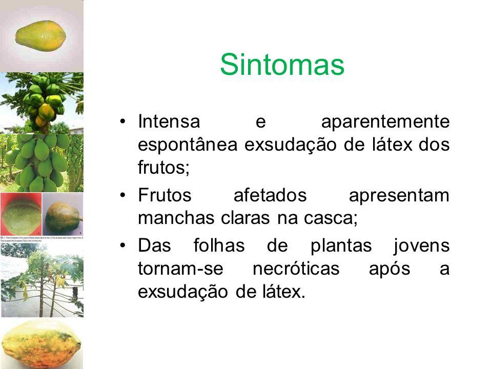 Sintomas Intensa e aparentemente espontânea exsudação de látex dos frutos; Frutos afetados apresentam manchas claras na casca;