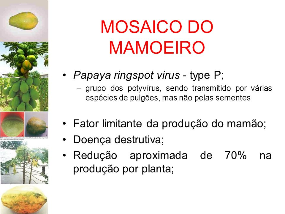 MOSAICO DO MAMOEIRO Papaya ringspot virus - type P;