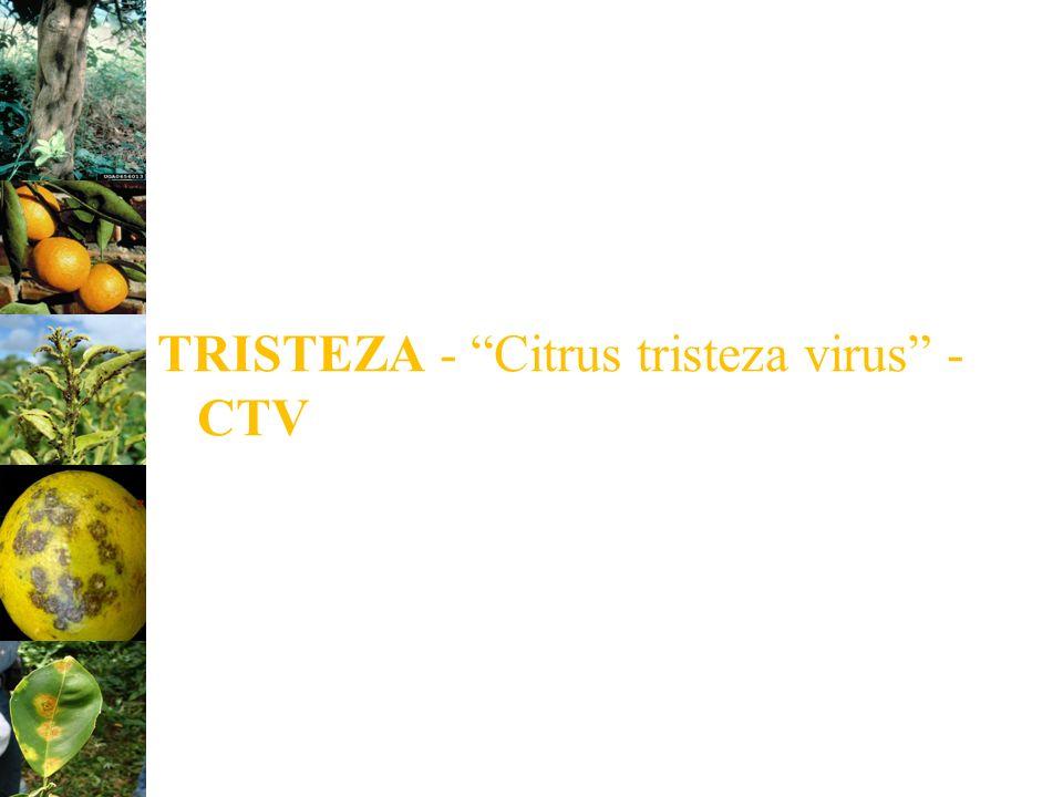 TRISTEZA - Citrus tristeza virus - CTV