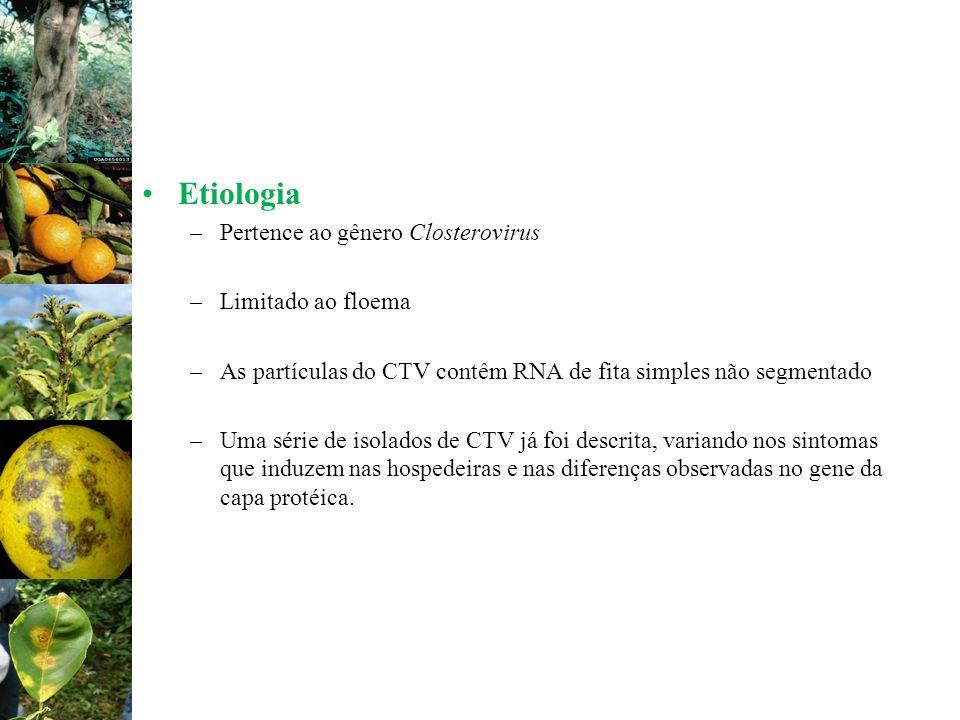 Etiologia Pertence ao gênero Closterovirus Limitado ao floema