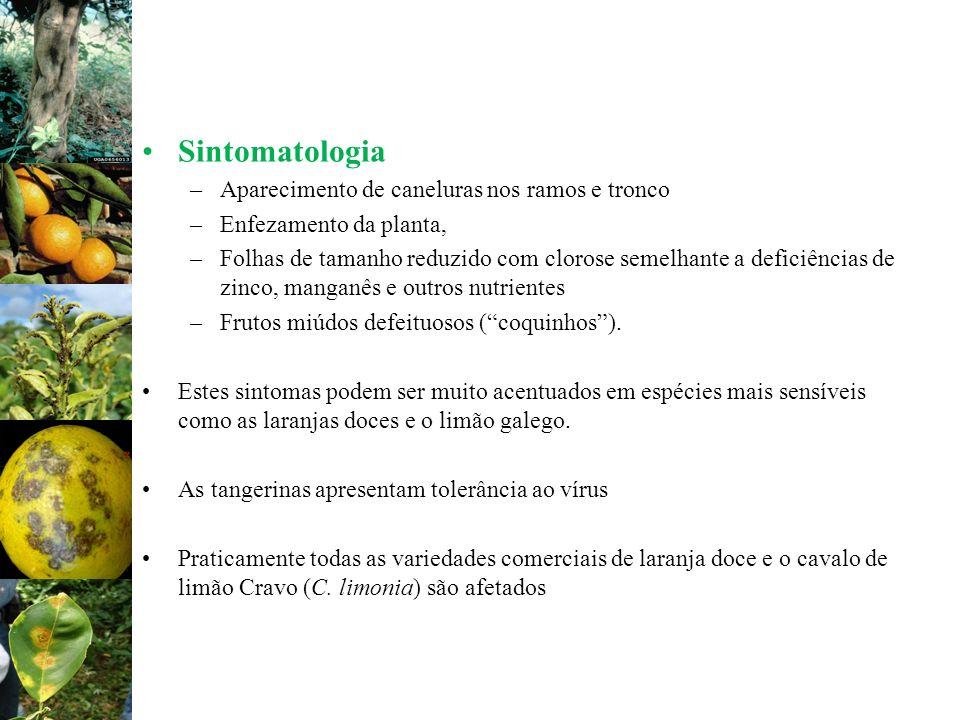 Sintomatologia Aparecimento de caneluras nos ramos e tronco
