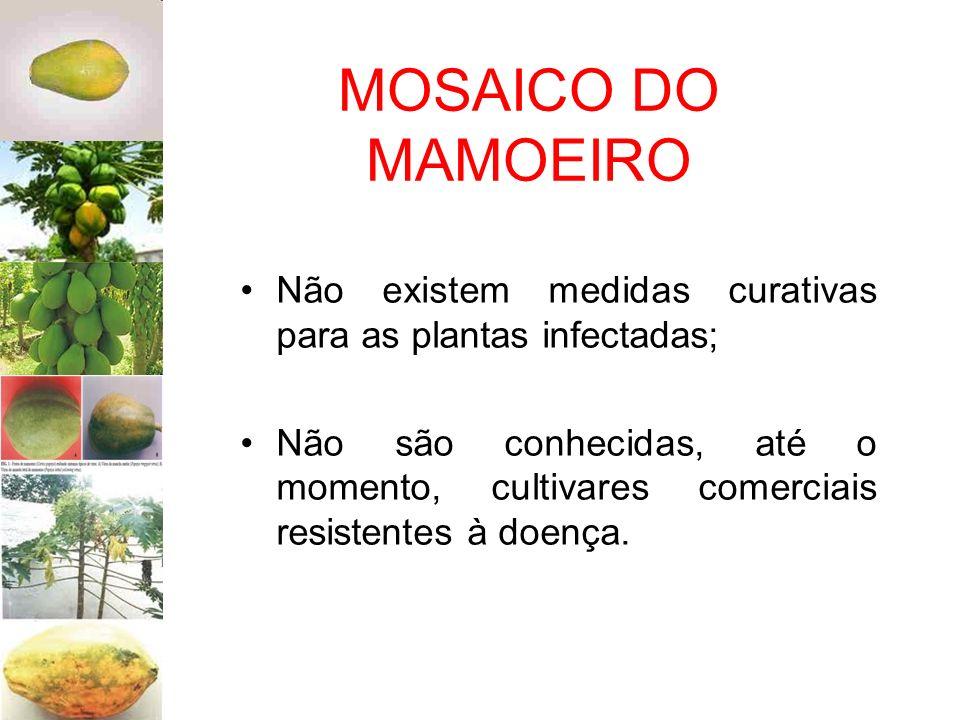 MOSAICO DO MAMOEIRO Não existem medidas curativas para as plantas infectadas;