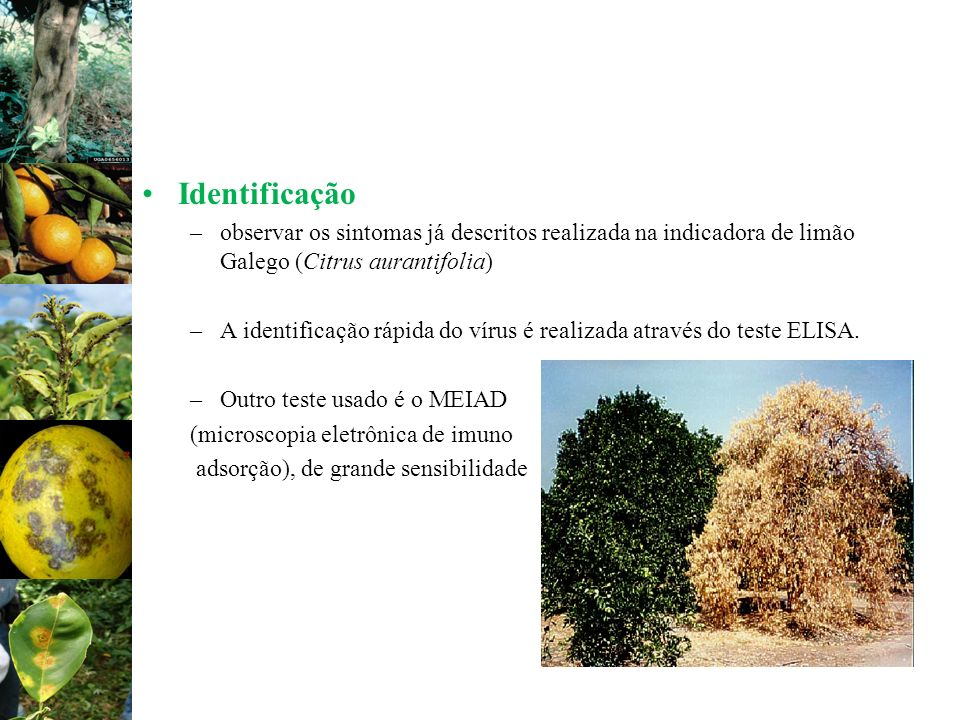 Identificação observar os sintomas já descritos realizada na indicadora de limão Galego (Citrus aurantifolia)