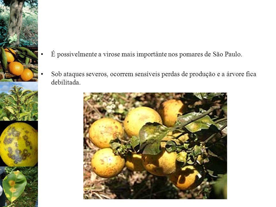 É possivelmente a virose mais importânte nos pomares de São Paulo.