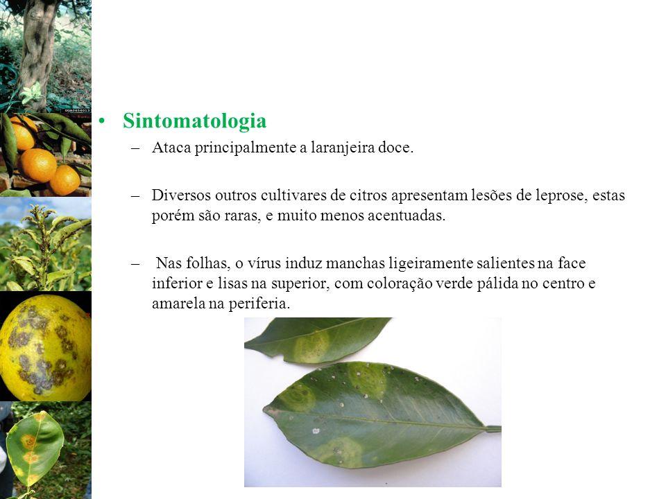 Sintomatologia Ataca principalmente a laranjeira doce.