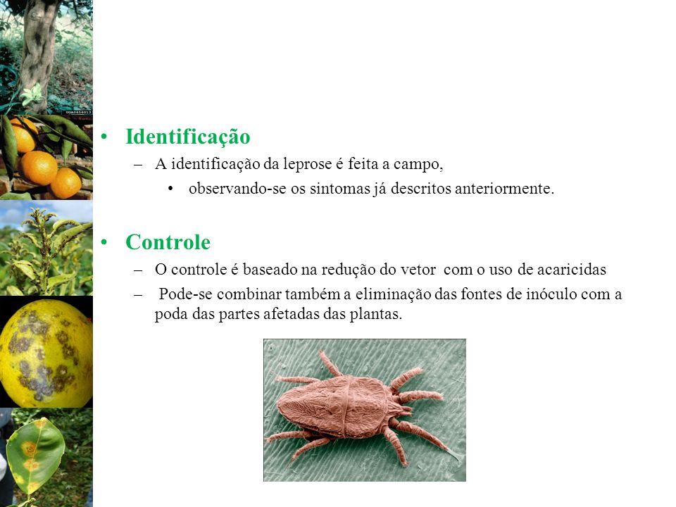 Identificação Controle A identificação da leprose é feita a campo,