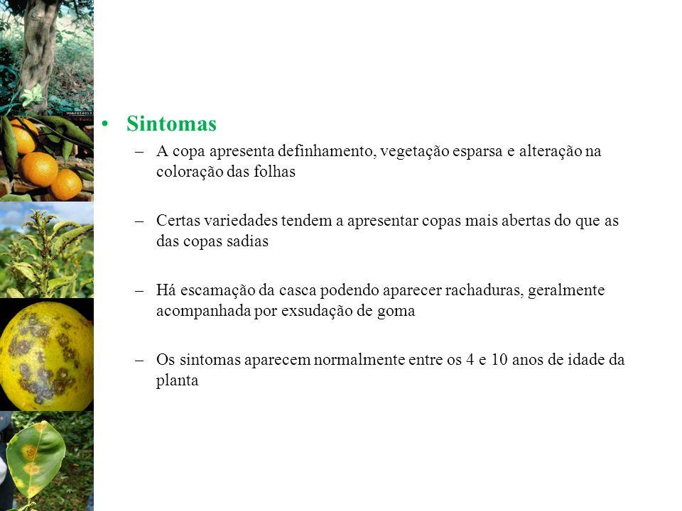 Sintomas A copa apresenta definhamento, vegetação esparsa e alteração na coloração das folhas.