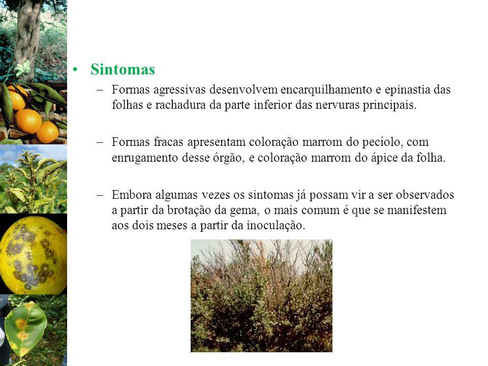 SintomasFormas agressivas desenvolvem encarquilhamento e epinastia das folhas e rachadura da parte inferior das nervuras principais.