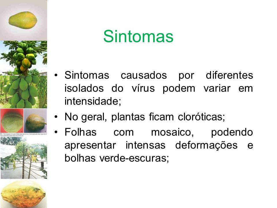Sintomas Sintomas causados por diferentes isolados do vírus podem variar em intensidade; No geral, plantas ficam cloróticas;