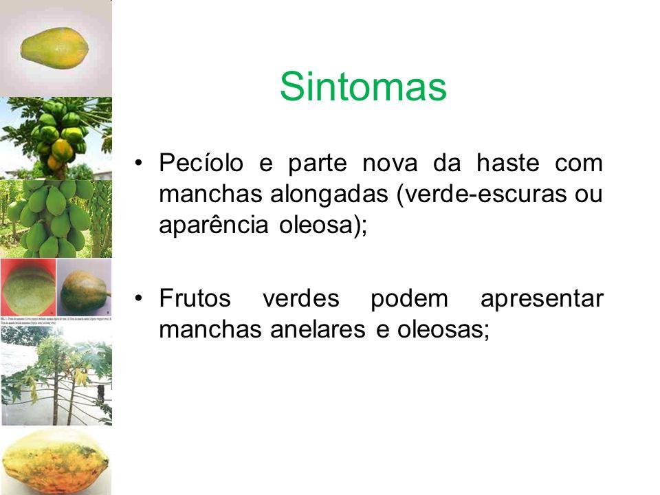 Sintomas Pecíolo e parte nova da haste com manchas alongadas (verde-escuras ou aparência oleosa);